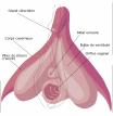Le-clitoris_width1024